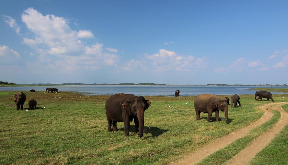 Les éléphants au Sri Lanka